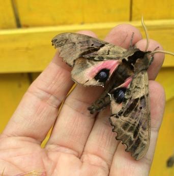 Blind eyed sphinx moth